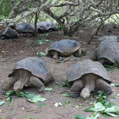 Giant tortoises being fed by Projects Abroad volunteers in Ecuador while volunteering in Galapagos.